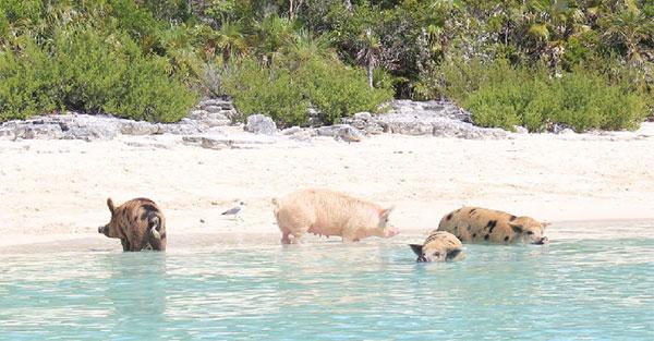 Pig Beach: Cerdos en la orilla