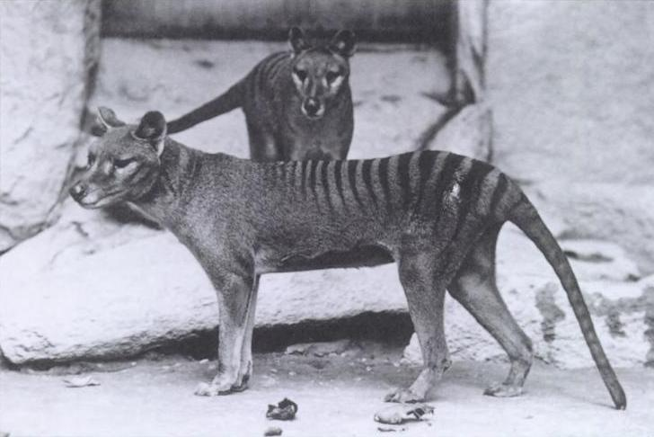 Tigre de Tasmania. Zoo de Washington, 1904