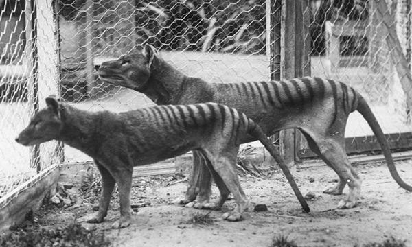 Tigres de Tasmania en cautividad